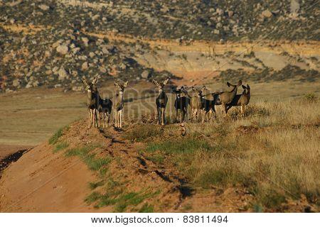 Mule Deer Lineup
