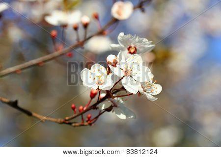 Blooming Spring Tree Branch