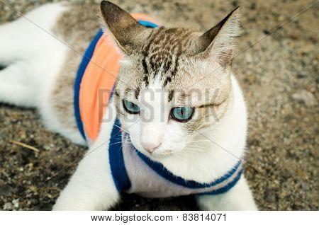 Thai blue-eyed cat