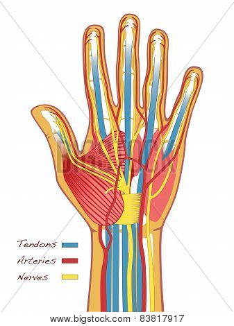 Humans Hands Anatomy