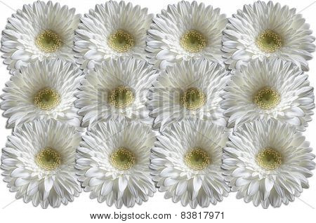 White heads gerber daisies consistently lying to each other