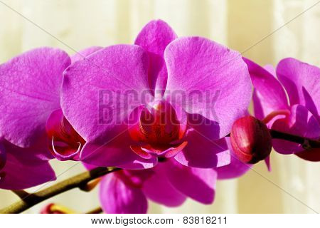 Pink orchid on biscuit-coloured background