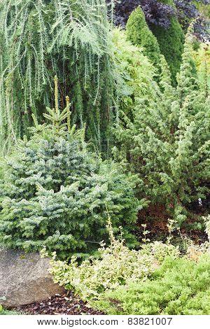 Coniferous plants garden