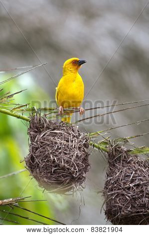 Golden palm weaver bird