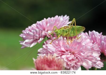Grasshopper On The Flower