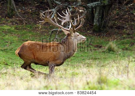 Big Red Deer Stag In A Clearing
