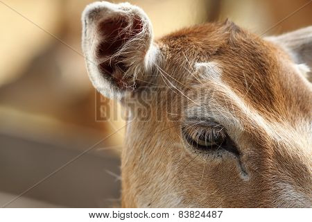 Closeup Of Fallow Deer Hind, Eye Detail
