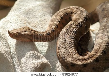 European Sand Viper On Leather Glove