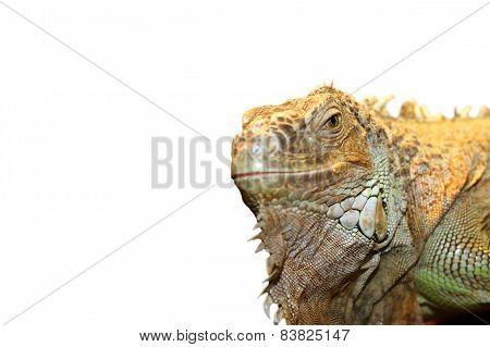 Green Iguana Portrait Over White