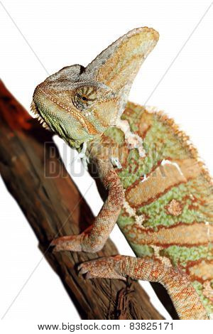 Isolated Veiled Chameleon