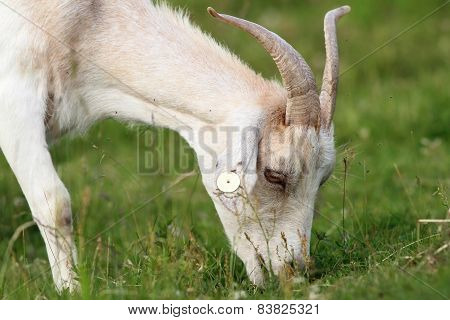 White Goat Grazing
