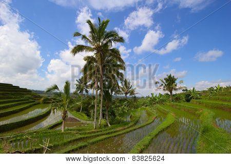 Rice terraces in Jatiluwih, Bail