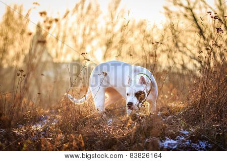 Dog in the meadow at sunset