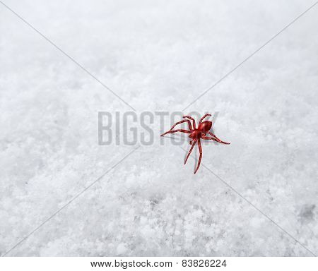 Small Red Spider On Frosty Surface