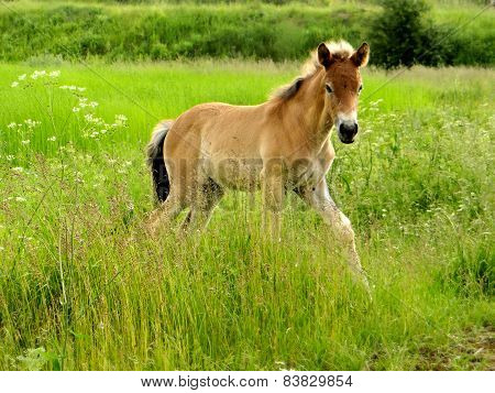 Foal On A Spacious Meadow