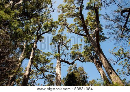 Giant tingle trees near Walpole