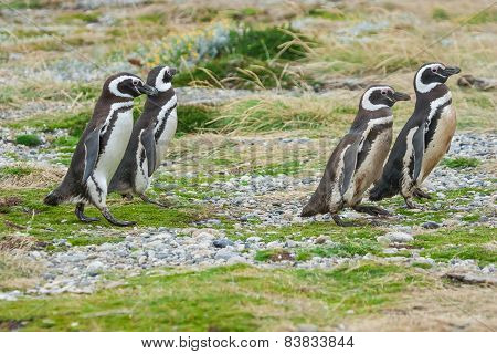 Four Penguins Walking In Field