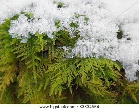 Snow Covered Moss