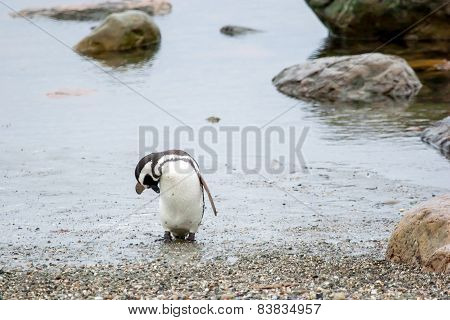 Penguin On Shore In Punta Arenas