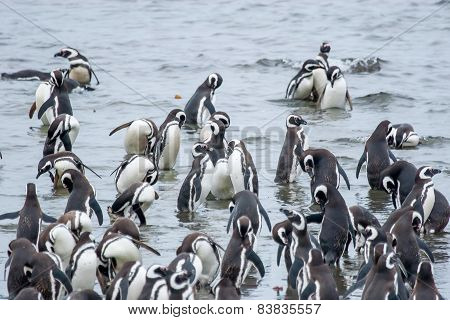 Penguins In Shoal