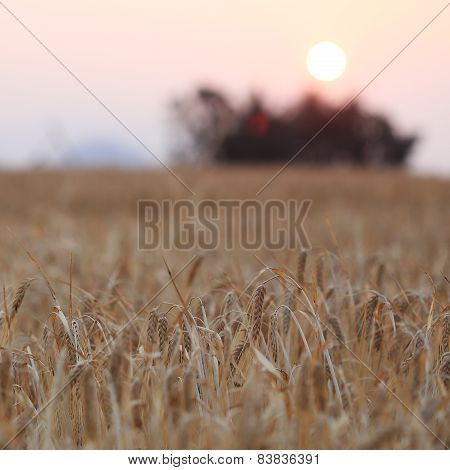 Barley Field And The Sunset Of Rural Scene, Golden Rice Fields