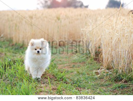 White Pomeranian Puppy Dog In Rice Field