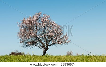 Almond Tree With White Blosoms