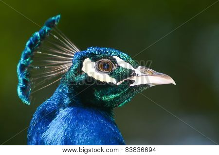 Side View Of Blue Peacock