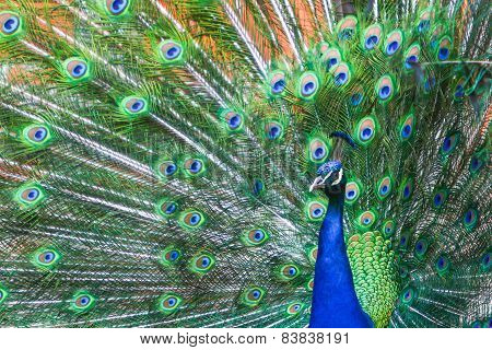 Blue Peacock Spreading Wings