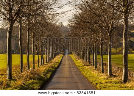 Avenue Of Young Trees Line A Lane