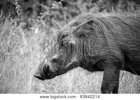 Warthog Profile
