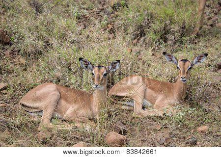 Resting Impala