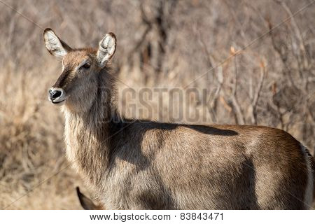 Female Water Buck