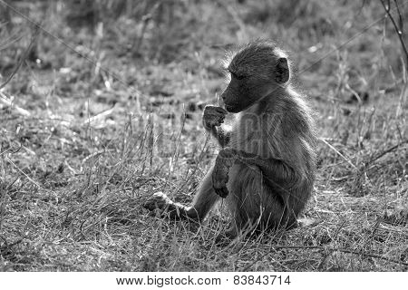 Young Baboon