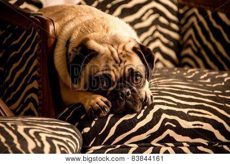 Concerned Pug