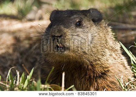A groundhog Toronto Ontario - portrait