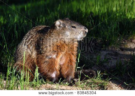 A groundhog Toronto Ontario