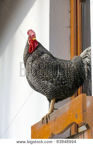 Chanticleer (gallus Domesticus)