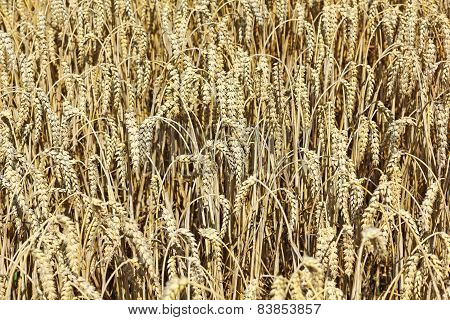 A Ripe Wheat Field Shortly Before Harvest