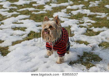 Yorkshire Terrier In Winter Garb