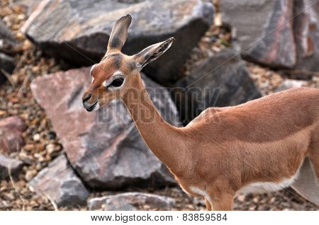 Female Gerenuk