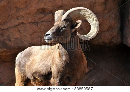 Bighorn ram keeping watchful eye