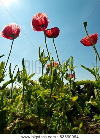 poppy (opium Poppy) flowers