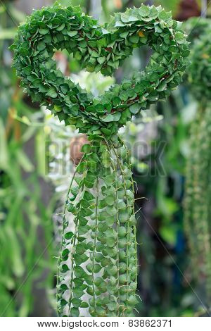 Dischidiasp , Hearts Shape Plant Forming Decorated In Green House ,of Green Gardening Park Use For N