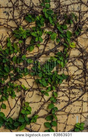 Green Ivy Vetical