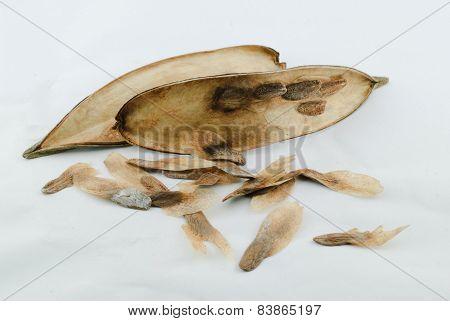 Frangipani Seeds
