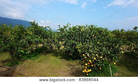 Beautiful Orange Groves