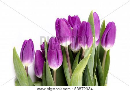 Purple Tulips At A Bright Background