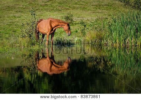 Horse At The Watering Place