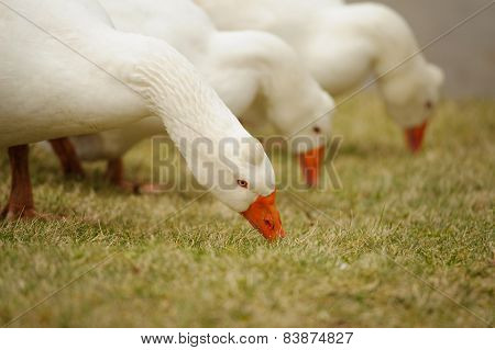 Group Of White Gooses